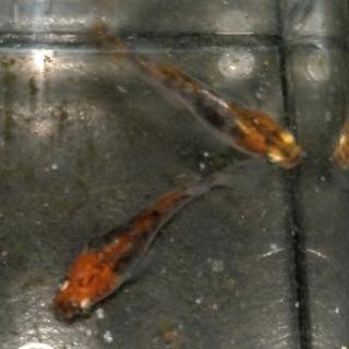 三色透明鱗ヒカリメダカの卵
