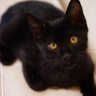 かわいらしい黒猫の男の子(3ヶ月)