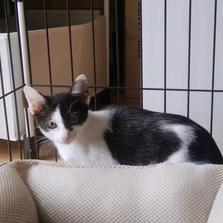 白黒の子猫 メス 生後約2ヶ月半 オセロちゃん