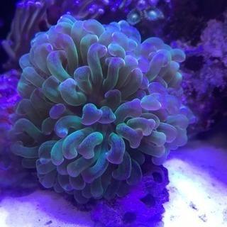 海水ハードコーラル   サンゴセット販売