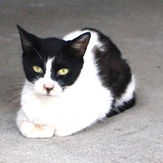 成猫ですがとっても小さめ 1歳半 ハチワレ メス 里親募集