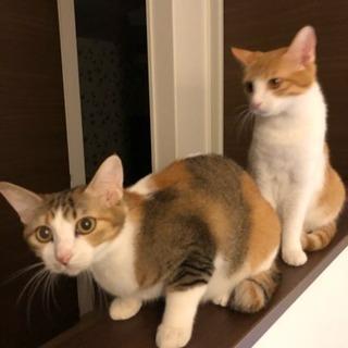 猫姉妹の里親を募集いたします