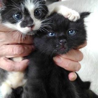 もふもふ兄妹 生後一か月齢黒おすと黒白めす