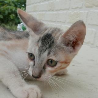 生後2ヶ月捨て猫7匹保護  その2・薄い三毛