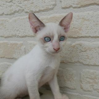 生後2ヶ月捨て猫7匹保護  その4・シロ 2 ブルーアイ