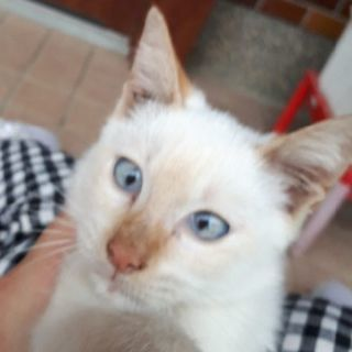 生後2か月青目白猫里親募集!
