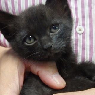 生後約40日の子猫(黒系:オス)の里親募集します(計2匹)