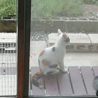 こちらで里親様決まりました。ありがとうございます(*^^*)珍しい可愛い水玉模様の三毛猫ちゃん♪水玉の玉ちゃん♪生後約4ヵ月 − 千葉県