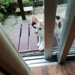 こちらで里親様決まりました。ありがとうございます(*^^*)珍しい可愛い水玉模様の三毛猫ちゃん♪水玉の玉ちゃん♪生後約4ヵ月 - 市川市