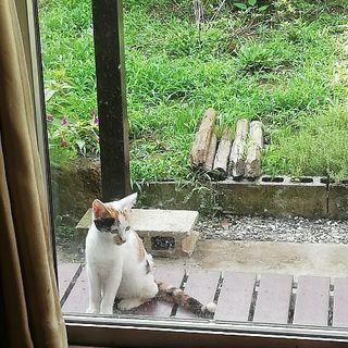 こちらで里親様決まりました。ありがとうございます(*^^*)珍しい可愛い水玉模様の三毛猫ちゃん♪水玉の玉ちゃん♪生後約4ヵ月 - 猫