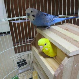 セキセイインコ(ペア)+鳥籠付き