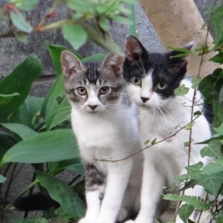 子猫たちの里親になってください!