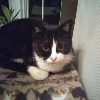 美しい鉢割れ猫メス3才。桜猫になりました。落ち着いた性格です。ケ...
