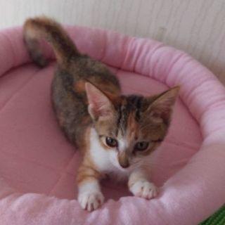 1ヶ月の三毛子猫里親募集