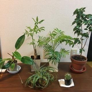 観葉植物(生体) キセログラフィカ、ベンジャミン、テーブルヤシ、...