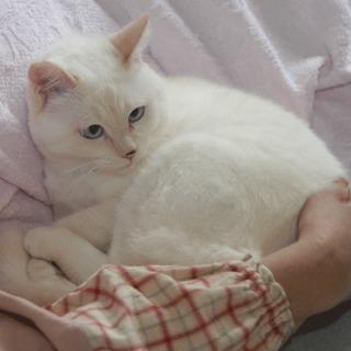1-2才位のベージュで目がブルーのシロちゃんです。 - 藤沢市