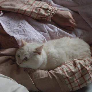 1-2才位のベージュで目がブルーのシロちゃんです。 - 猫