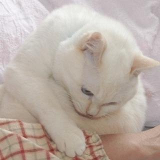 1-2才位のベージュで目がブルーのシロちゃんです。 − 神奈川県