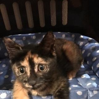 生後2ヶ月位の雌のサビ猫です