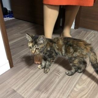 【子猫♀】美人さんです! - 猫