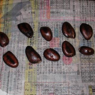 幻の果実 ポポーの種10粒