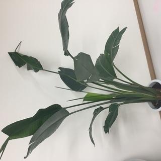 観葉植物 ストレリチア・オーガスタ