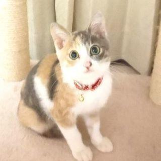 スモーキー三毛猫のララちゃん