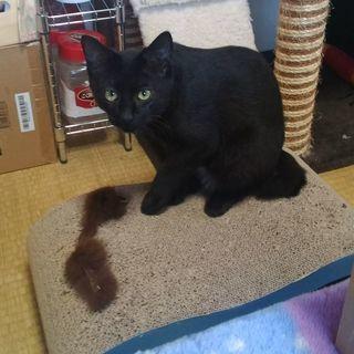 びびりな黒猫(11ヶ月・女の子・避妊手術済み)