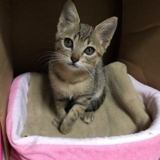 生後2ヶ月程の甘えん坊のキジ猫ちゃん❤