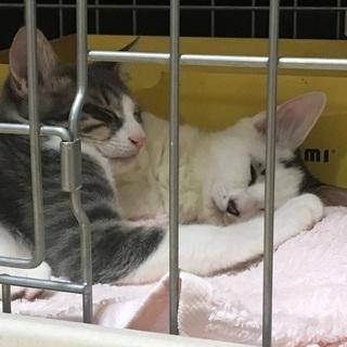 4ヶ月の元気な兄弟仔猫♂2匹