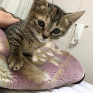 生後1ヶ月の美人猫ちゃんの里親募集