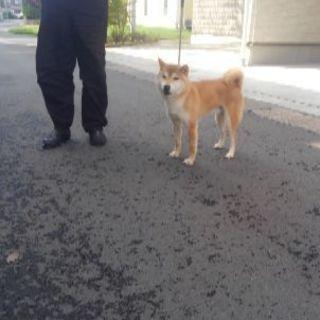 秋田犬黒虎メス成犬