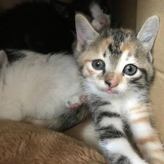 ミケ猫1.5ヶ月ぐらいです。の画像