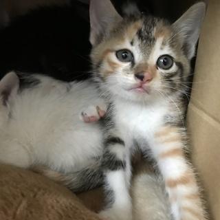 ミケ猫1.5ヶ月ぐらいです。 - 猫