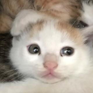 子猫、シロ茶1ヶ月と少しぐらい。