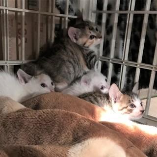 子猫、シロ茶1ヶ月と少しぐらい。 - 猫