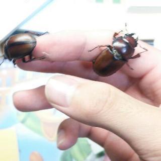 アスタコイデスノコギリクワガタ(亜種エラフス)初齢幼虫