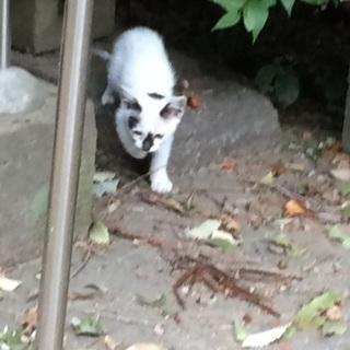 深谷市公園で子猫保護しました。1ヶ月半子猫 - 里親募集