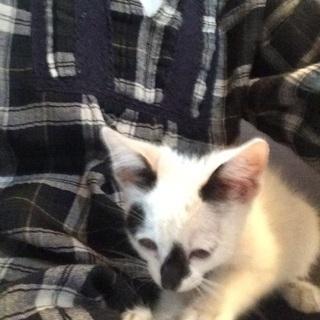 深谷市公園で子猫保護しました。1ヶ月半子猫 - 深谷市