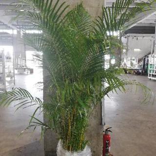 観葉植物 アレカヤシ 尺鉢