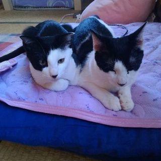 穏やかな性格の白黒ハチワレの子猫(9ヶ月・男の子・去勢手術済み)
