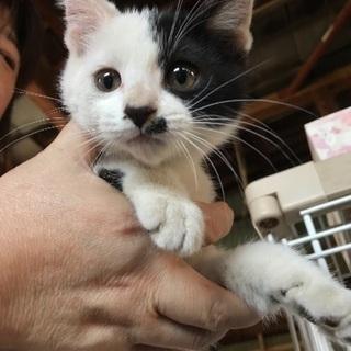 ★保護猫★推定3ヶ月★白黒と茶トラ