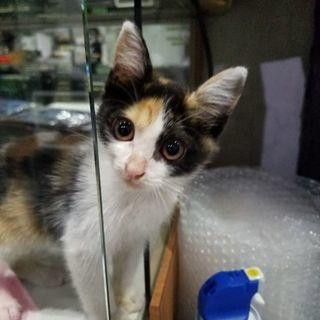 生後約2ヶ月半くらいの三毛猫ฅ(=・ω・=)ฅ