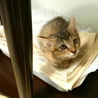生後2ヵ月 キジトラ子猫