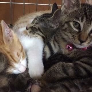 かわいい子猫(1か月半)茶白♂とキジトラ♂の里親になってください
