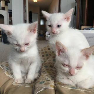 再応募 白猫の里親さん募集してます。