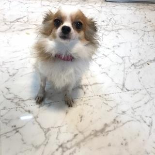 極小成犬チワワ&パピヨン2キロ
