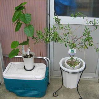 オリーブ鉢植え ゴムの木系鉢植え プランター台 中古