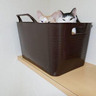 可愛い仲良し兄弟猫です家族になってあげてください