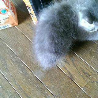 生後一ヶ月グレーメス - 猫
